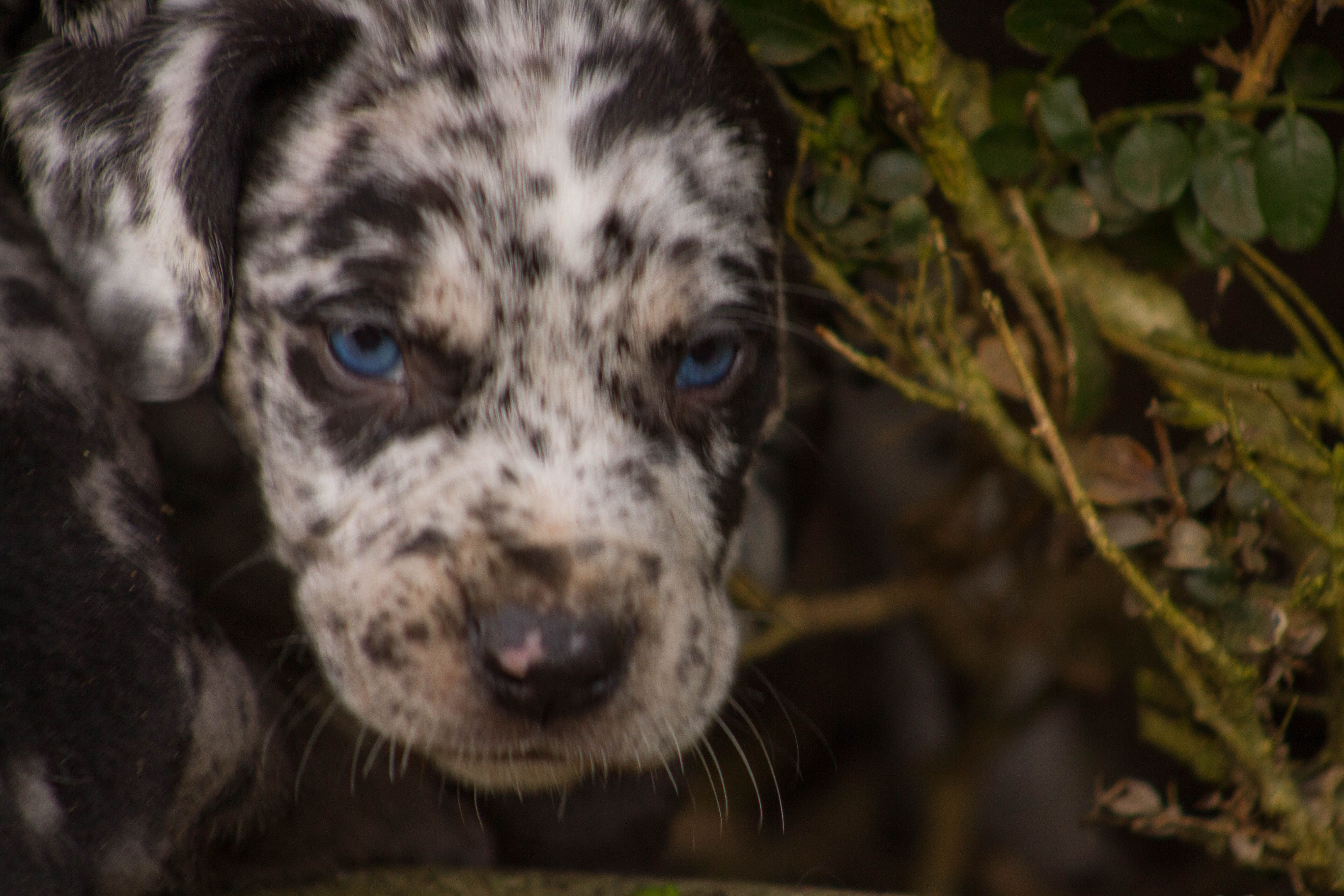 Painted K Ranch Catahoulas Catahoula Leopard Dogs Catahoula