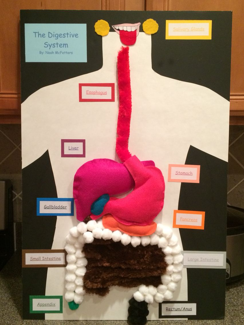 digestive system project Parts of the digestive system learn with flashcards, games, and more — for free.