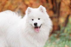 Samoyed dog Royalty Free Stock Photos