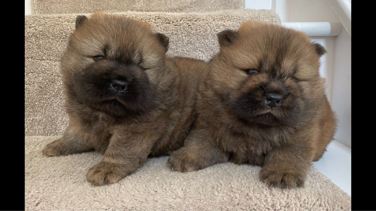 Kc registered chow chow puppies for sale in kuwait in 2020
