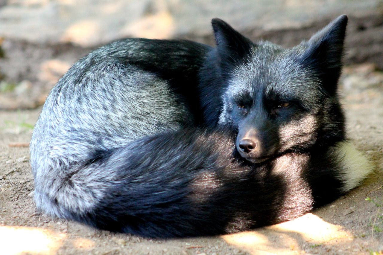 Wolfparkinterns all curled up for a nap cats and dogs pinterest