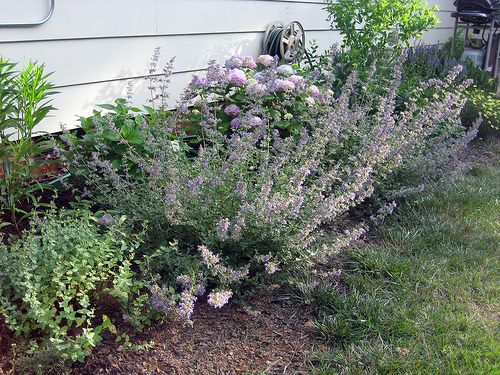 catmint and endless summer hydrangea