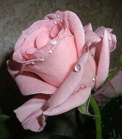 Pretty Pink Rose Rosen Beautiful Roses Flowers Rose