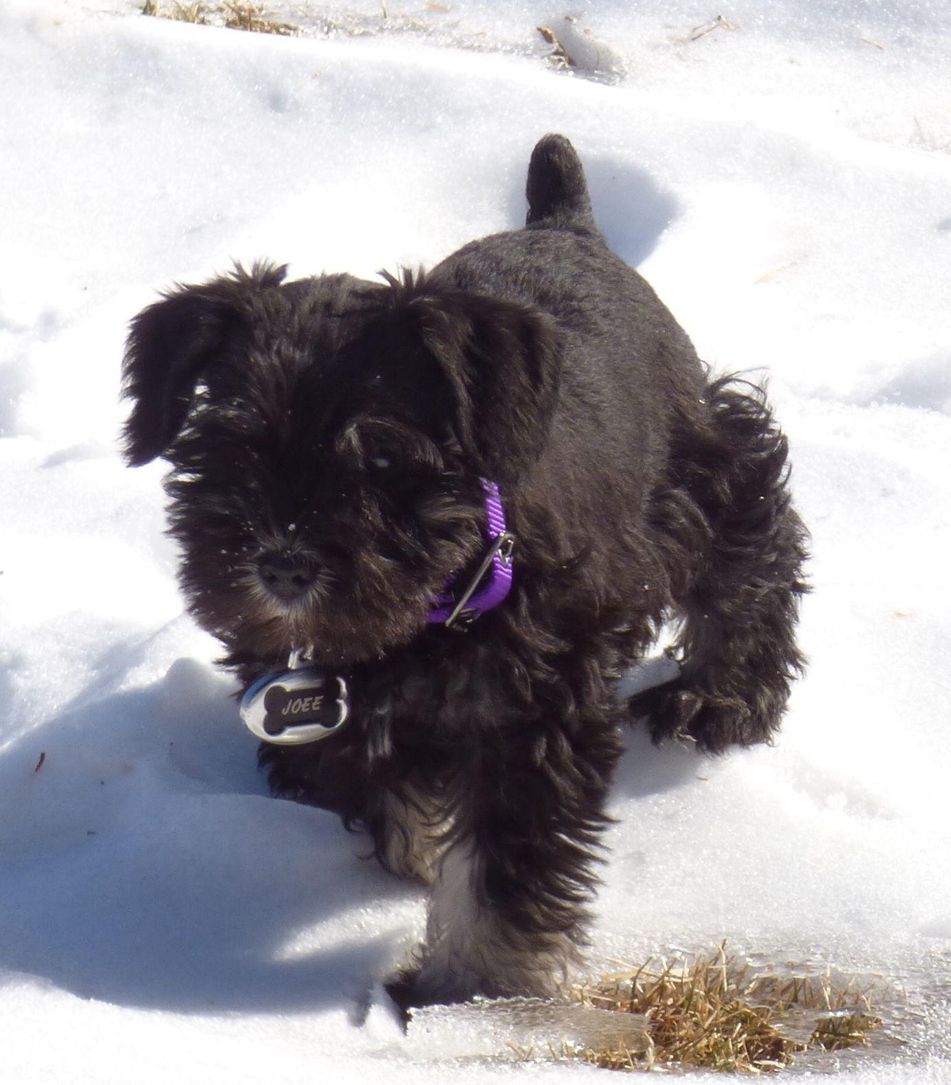 Schnauzer puppy, 8 weeks old. Triple LOVE!! | Schnauzer ...