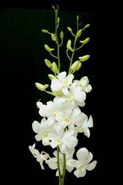 Dendrobium Big White Buy Dendrobium Orchid Product On Alibaba Com Dendrobium Orchids White Dendrobium Orchids Orchid Flower