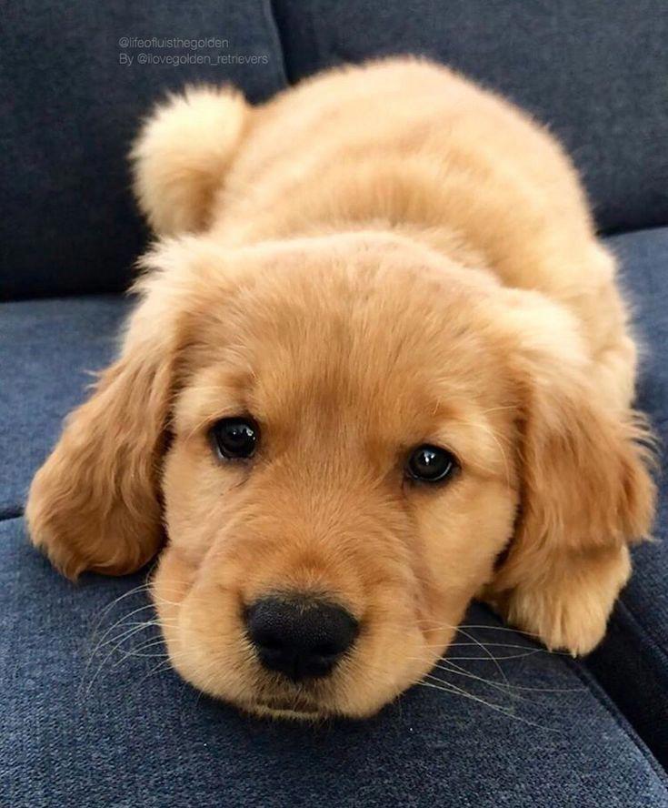 Pin By Mallary St John On Too Cute Golden Retriever Baby