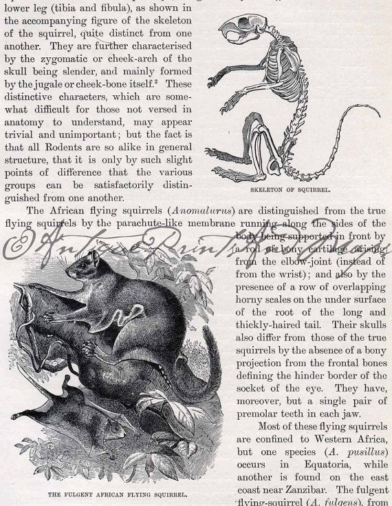 Antique Print Squirrel Skeleton Fulgent African Flying Squirrel And