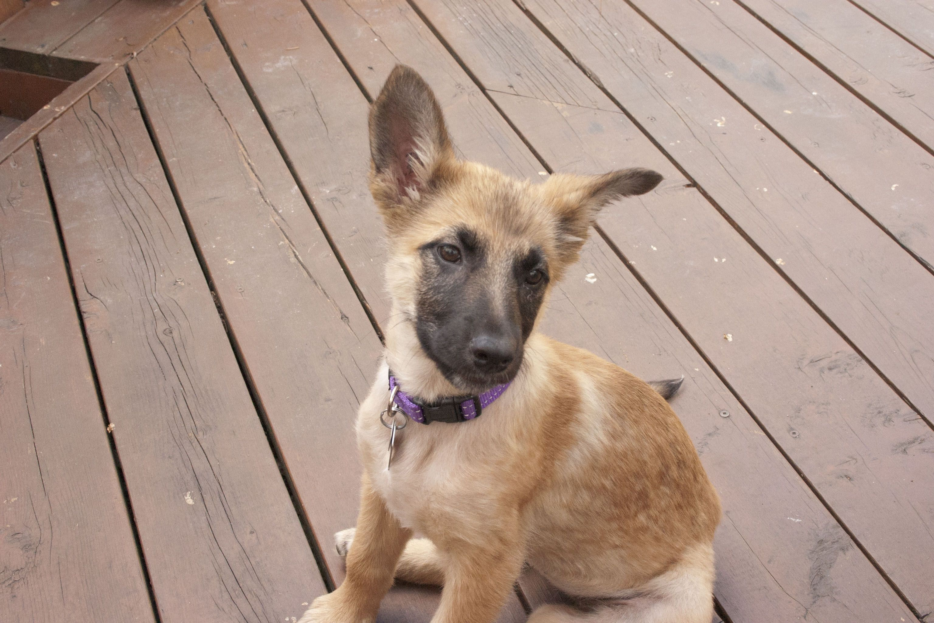 Belgium Malinois 3 Months Old Re Pin If You Love Smart Cute
