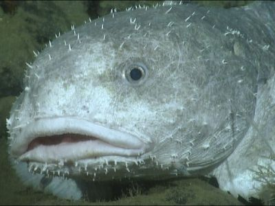 Blob fish (in water) | Fauna | Pinterest | Blobfish and Animal