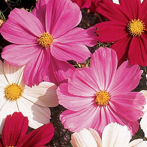 Gazebo Pink Cosmos Flower Seeds Flower Seeds Cosmos Flowers October Flowers