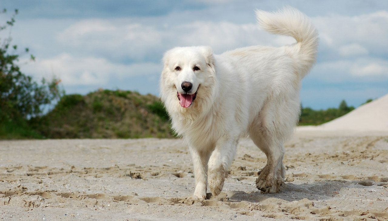 The Best Dog Breed For Each State Great Pyrenees Dog French Dog