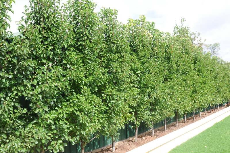 Landscaping With Pear Trees : Upright ornamental pear trees pyrus calleryana capital