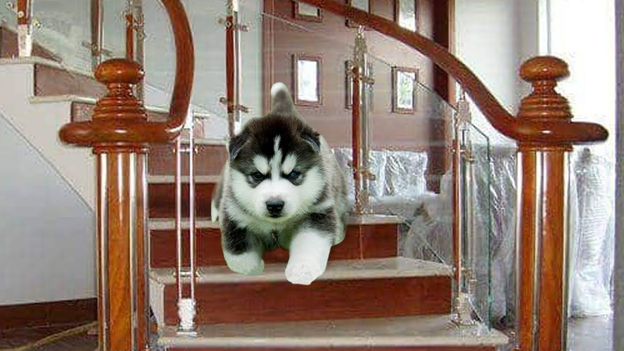 Poor Puppies Husky! It was very painful to fall down from