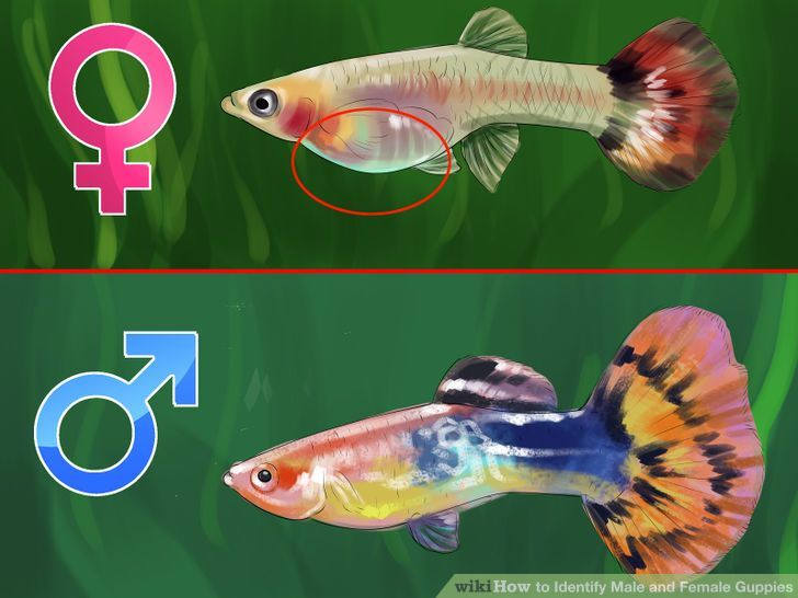 How To Identify Male And Female Guppies Pet Fish Guppy Fish Tropical Fish Aquarium
