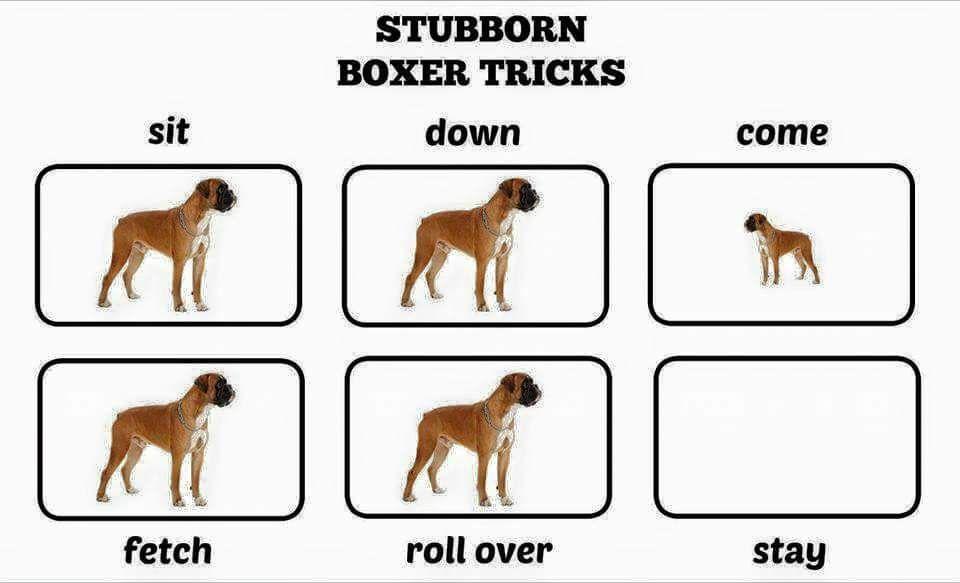 Stubborn Boxer Tricks