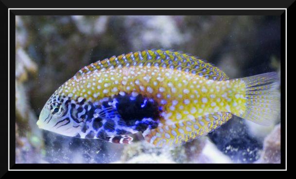 Tiger Wrasse Photo At Saltwaterfishbook Fish Pet Pets Fish