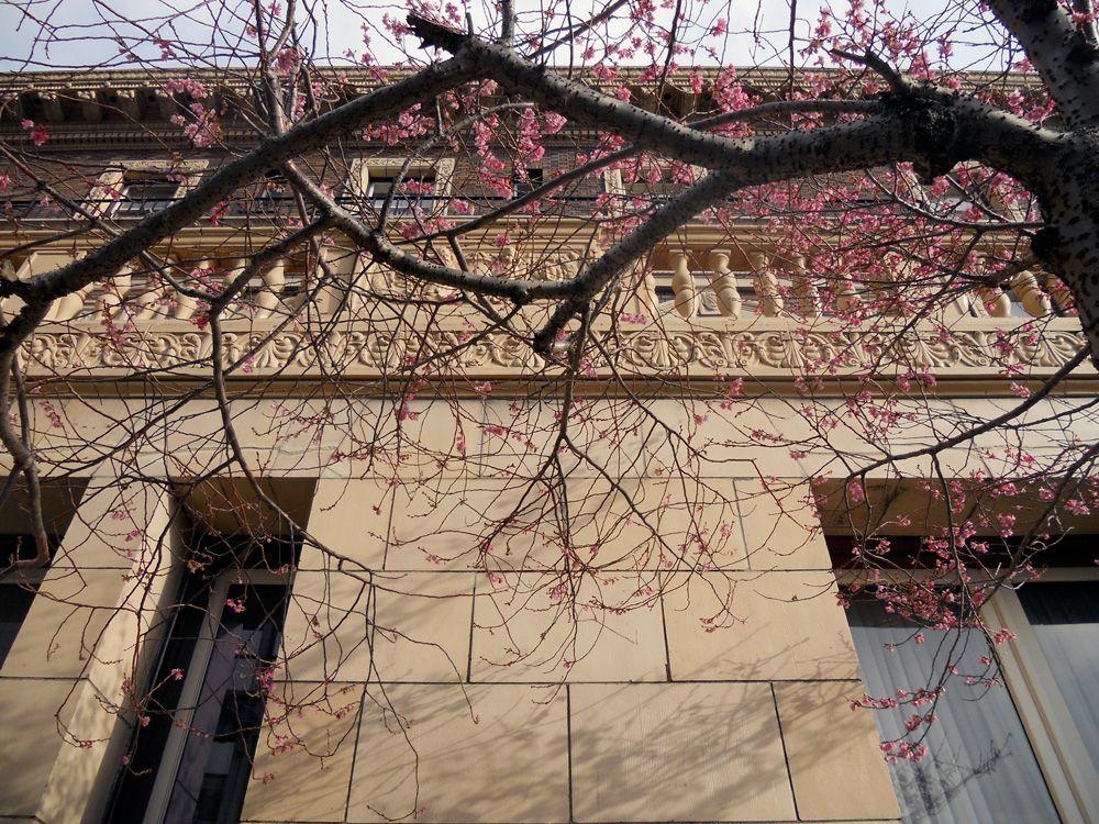 Cherry blossom in Victoria BC, outside the Union Club