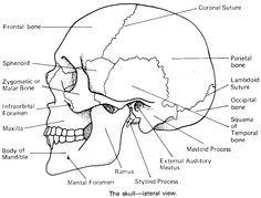 Printable Flashcard On Cranial Bones In Detail Free Flash Cards Anatomy Coloring Book Skull Anatomy Anatomy Bones