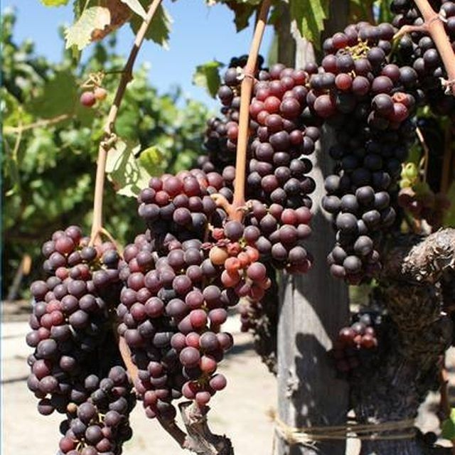 Growing Grapes, Grape Vines