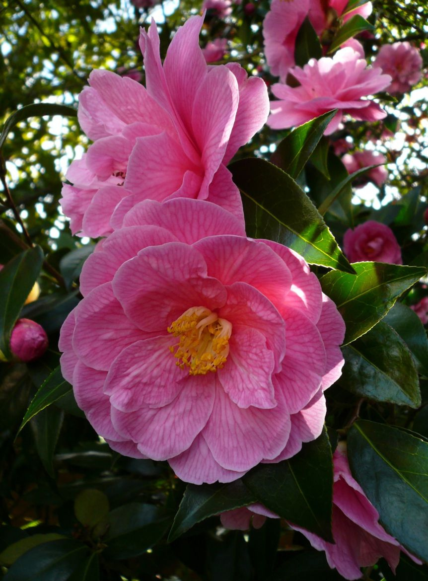 Photograph Pink Camellias by Jean Allenet on 500px