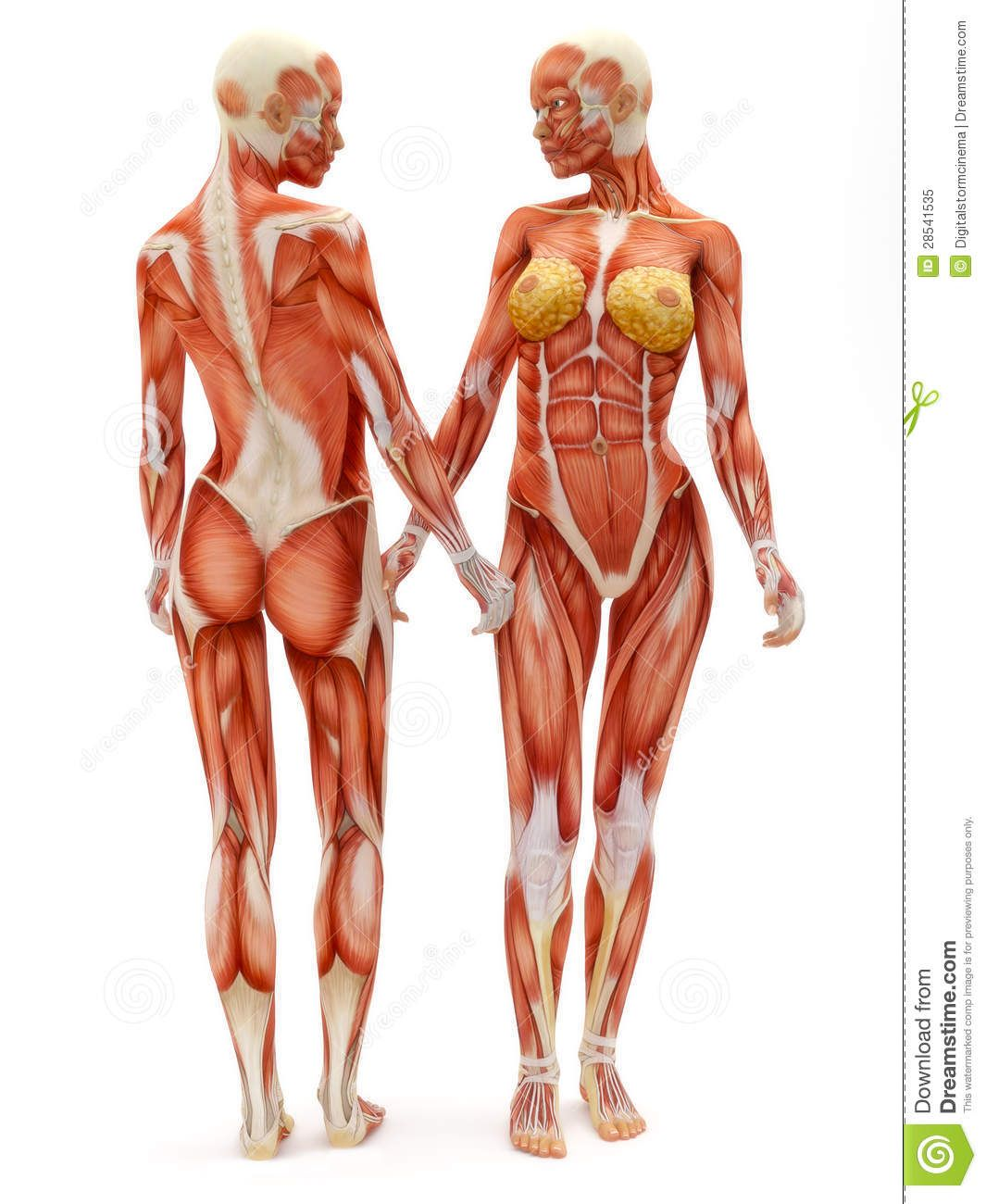Female Musculoskeletal System Royalty Free Stock Photo - Image ...