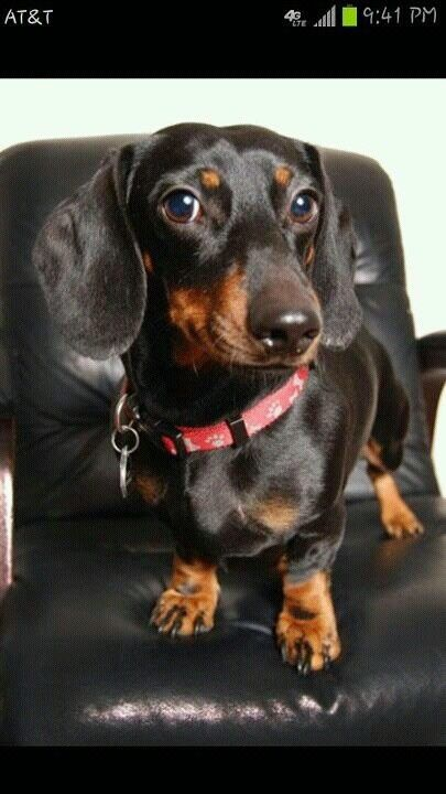 Beautiful Photo Of A Dashing Doxie Taken By Victoria Renard By