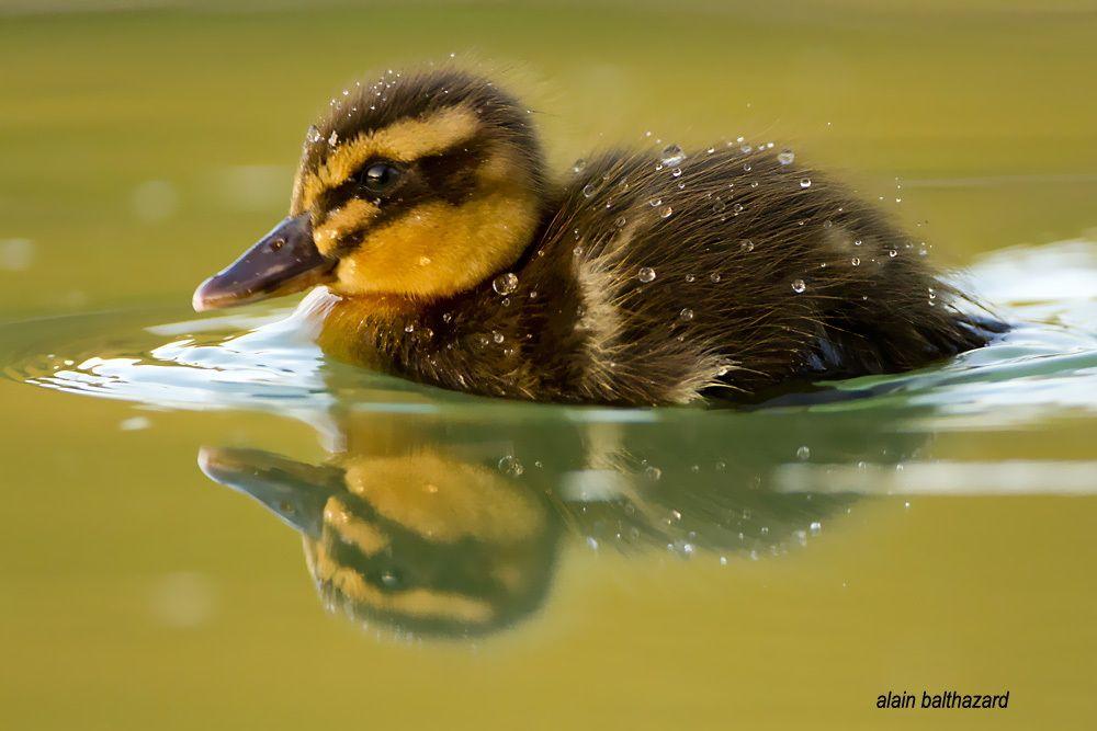 Young mallard (jeune canard colvert)