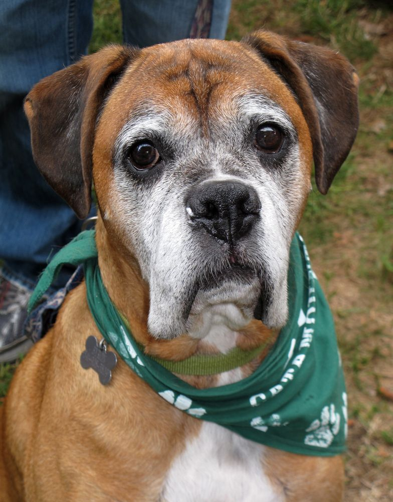 Does An Octopus Make A Good Pet Boxer Dogs Boxer Love Dog Stock Photo