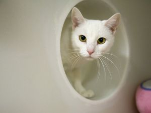 VICTORIA is an adoptable Domestic Short Hair Cat in Boston