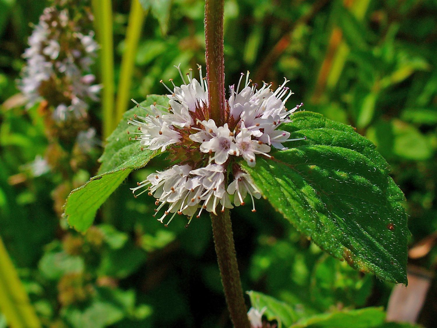 Mint Seeds Pennyroyal Mint Mentha Pulegium Extremely Useful As