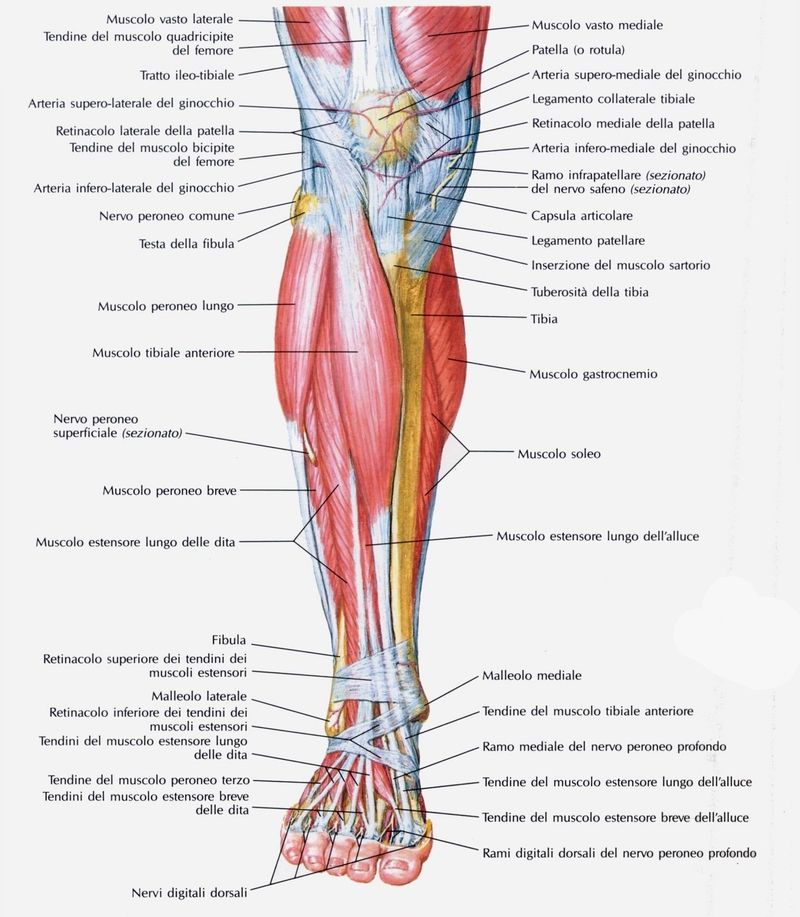 Muscolo tibiale anteriore | Reflexology, Muay thai and Gym