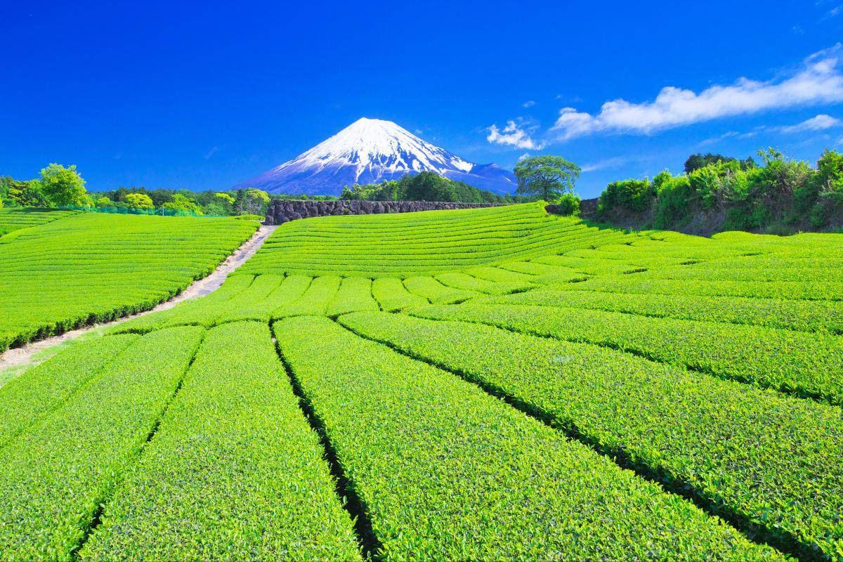 Teaültetvény Japánban, a Fuji lábánál.