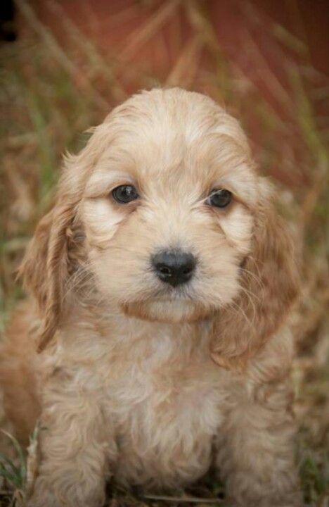 Flynn (Spoodle) cocker spaniel/poodle cross ♥ my new puppy