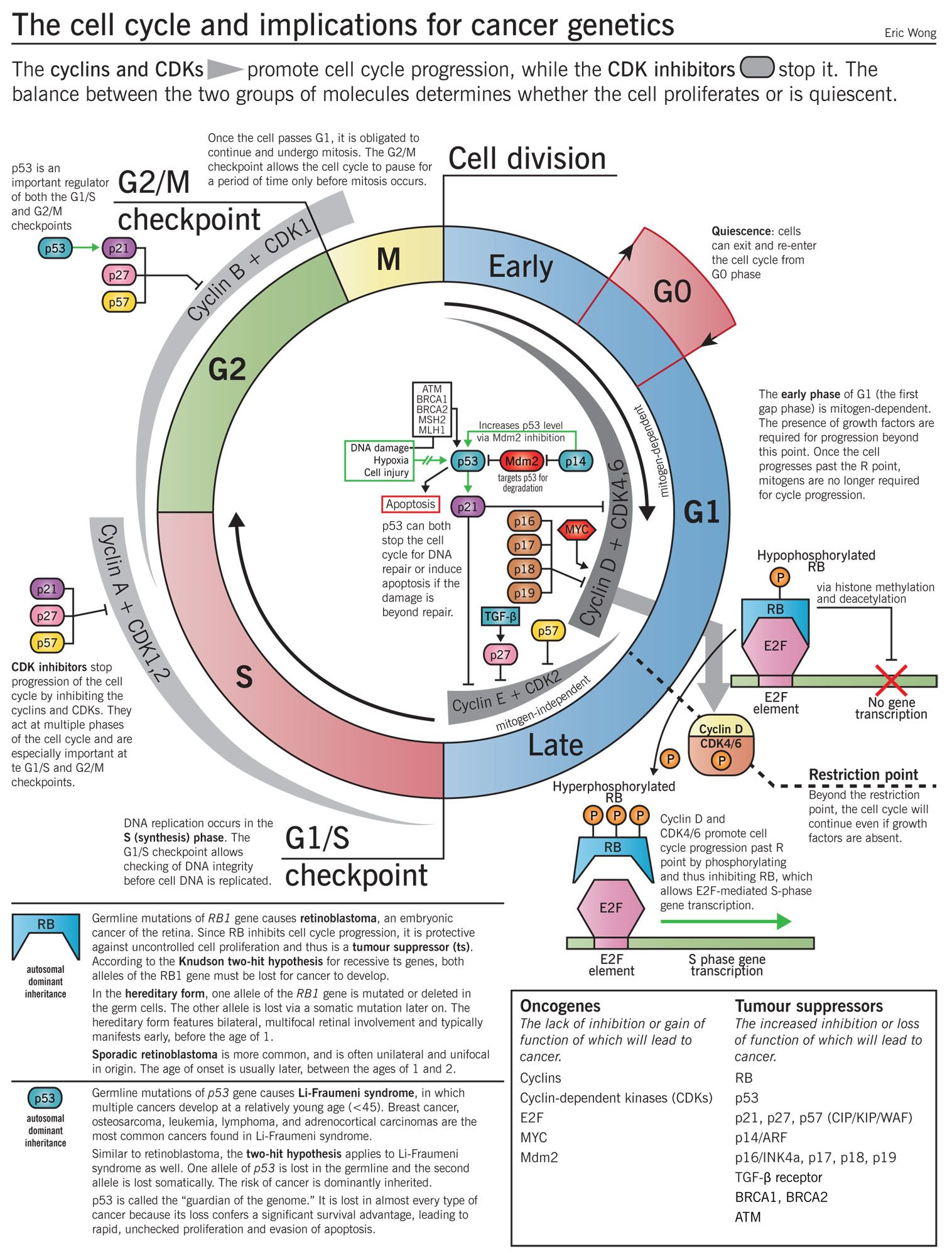 the cell cycle and implications for cancer genetics infographic oncologial pinterest. Black Bedroom Furniture Sets. Home Design Ideas