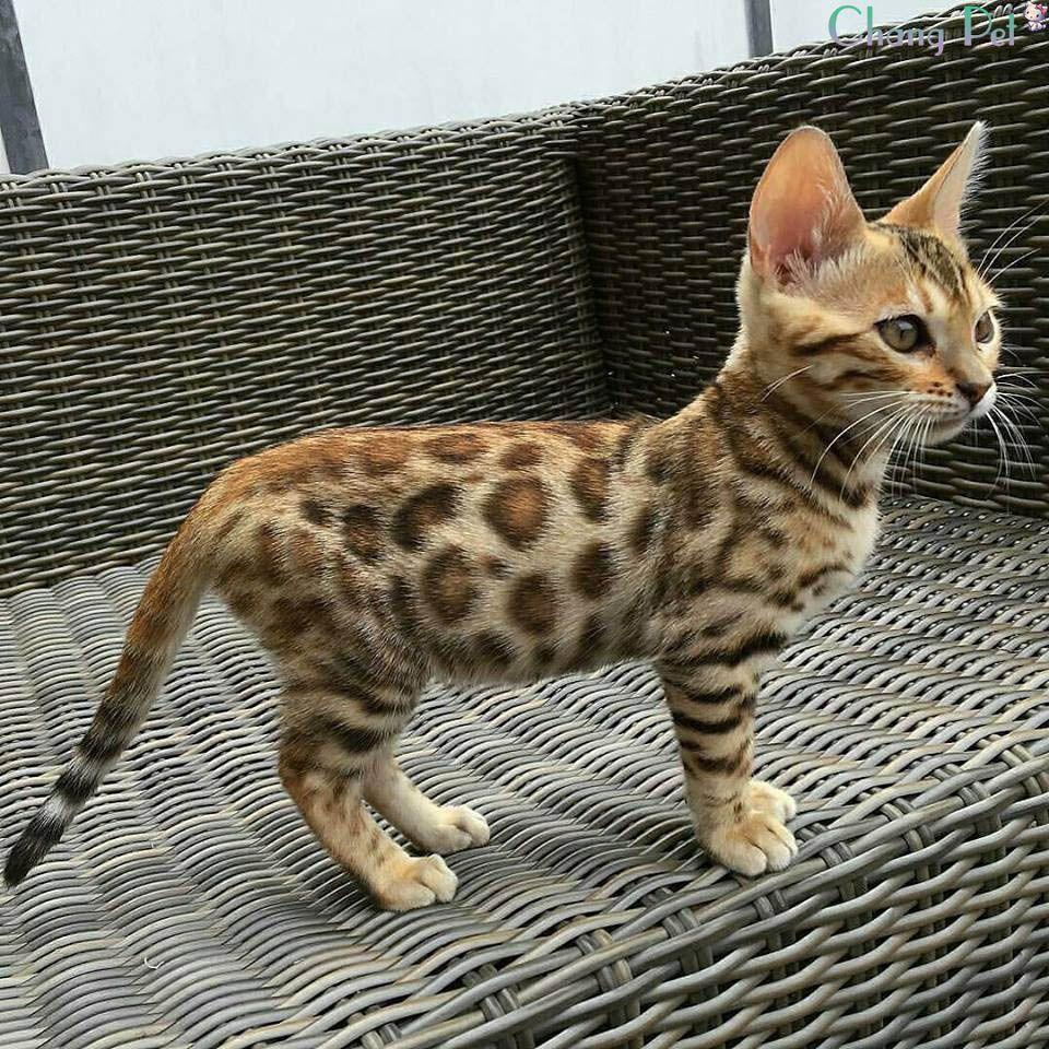 Bengal 45 Domestic Cat Breeds Dog Cat Domestic Cat