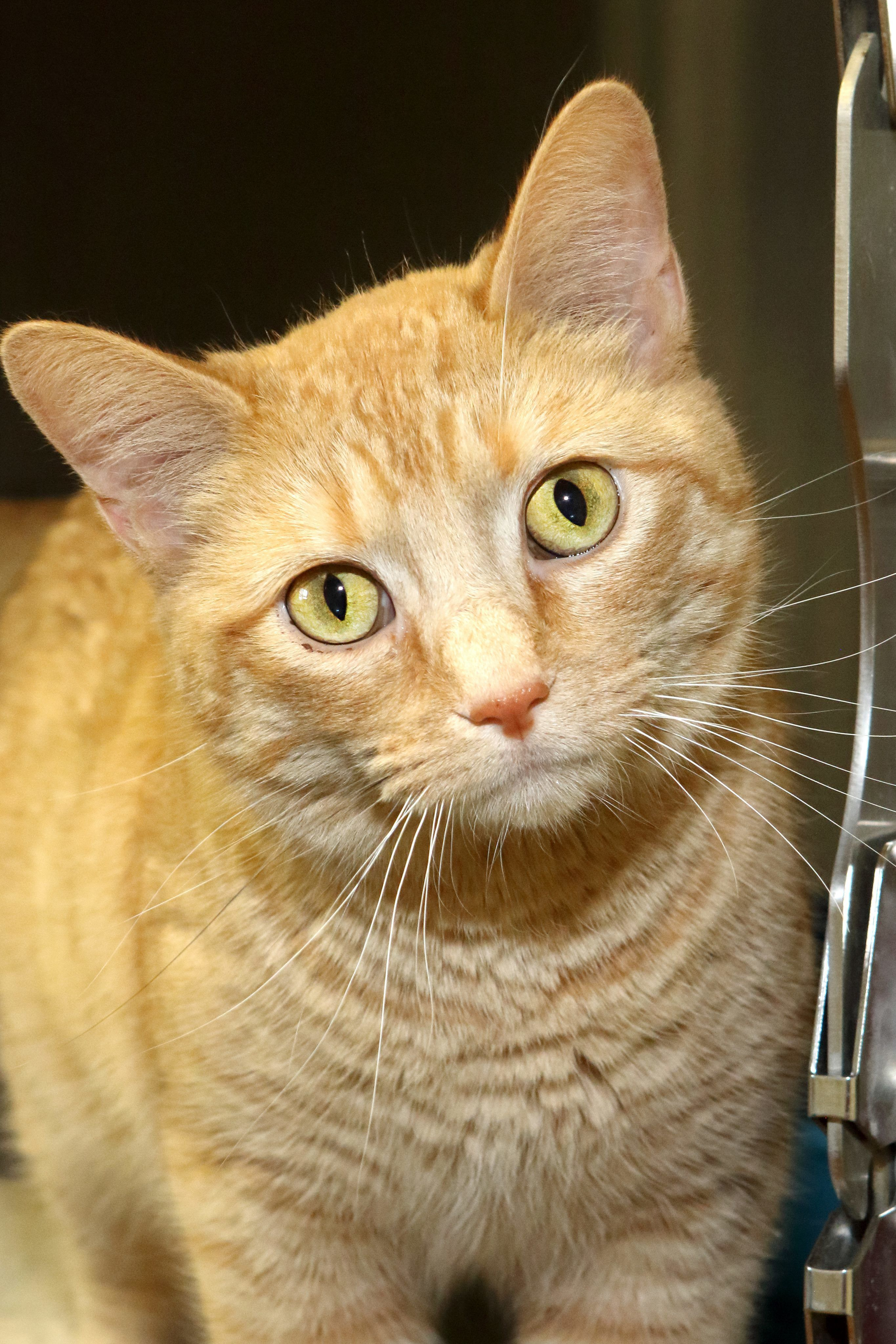 Mews Tabby Female Adult Mower County Humane Society Austin Mn Orange Tabby Cats Cats Cute Cats