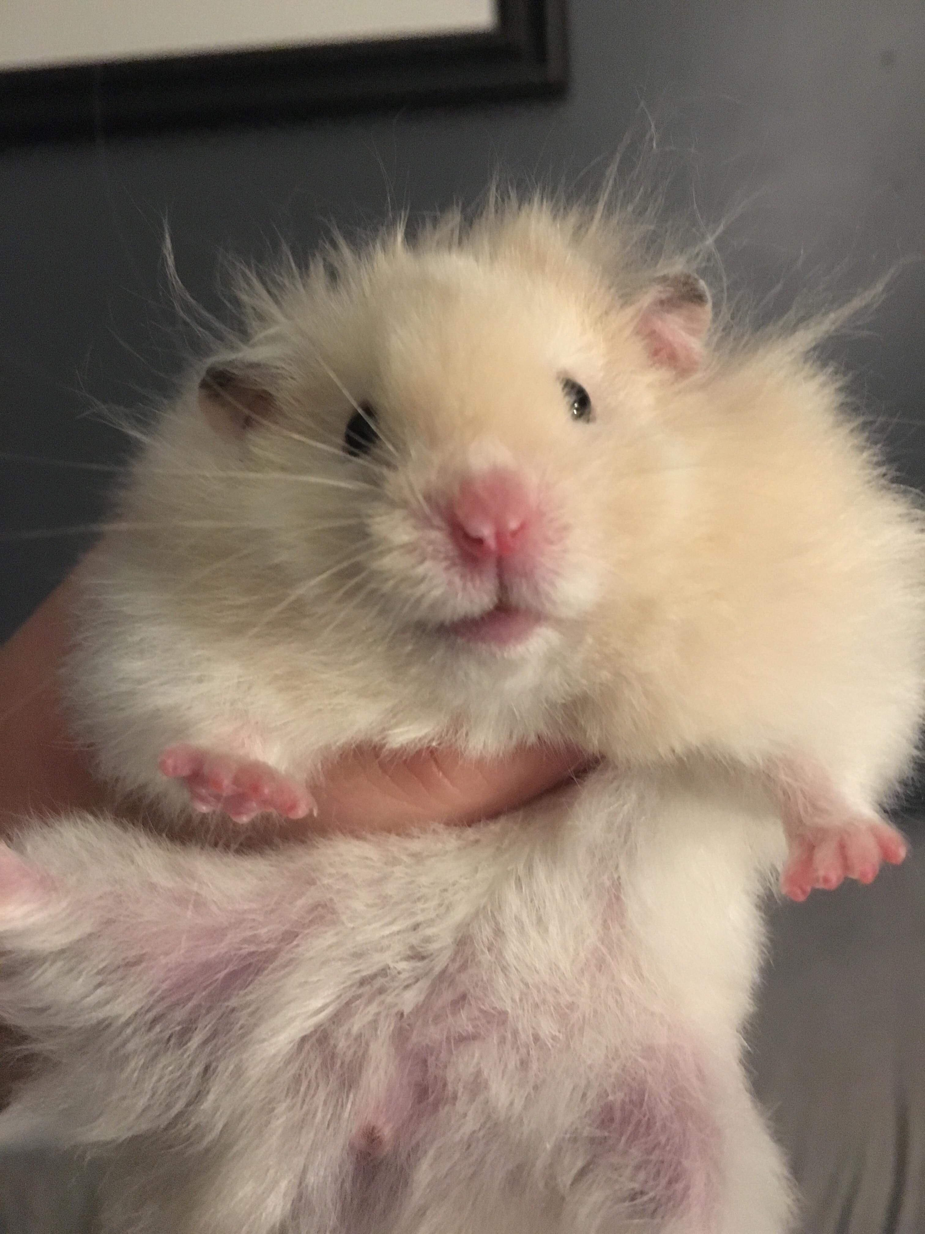 A Lady At The Local Small Pet Rescue And My Childhood Friend Conspired Against Me And I Am Now The Mother Of A Hospic Cute Little Animals Cute Hamsters Hamster