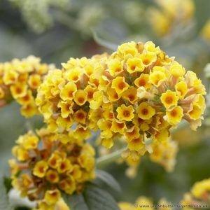 Buddleia Sungold Yellow Flowering Buddleia Butterfly Bush Shrubs Yellow Flowers