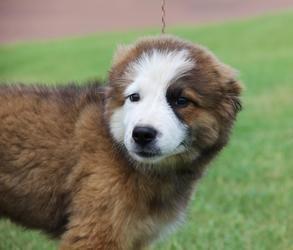 Adopt Fable Adopted To Lexington Ky On Collie Dog Retriever Mix Golden Retriever Mix