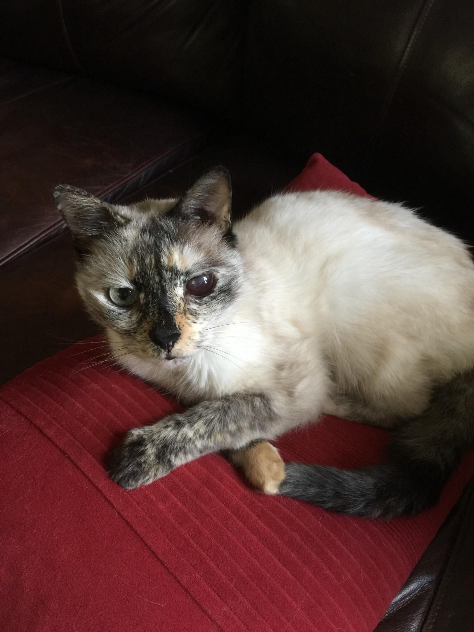 My moms cat Eureka survived getting hit by a car and will be 18 this year. #aww #cute #cutecats #catsofpinterest #cuddle #fluffy #animals #pets #bestfriend #boopthesnoot