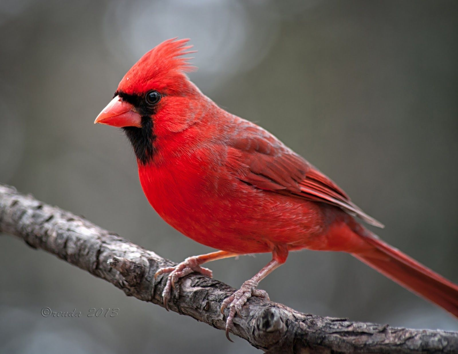 Attractive Northern Cardinals Birds With Images Cardinal Birds