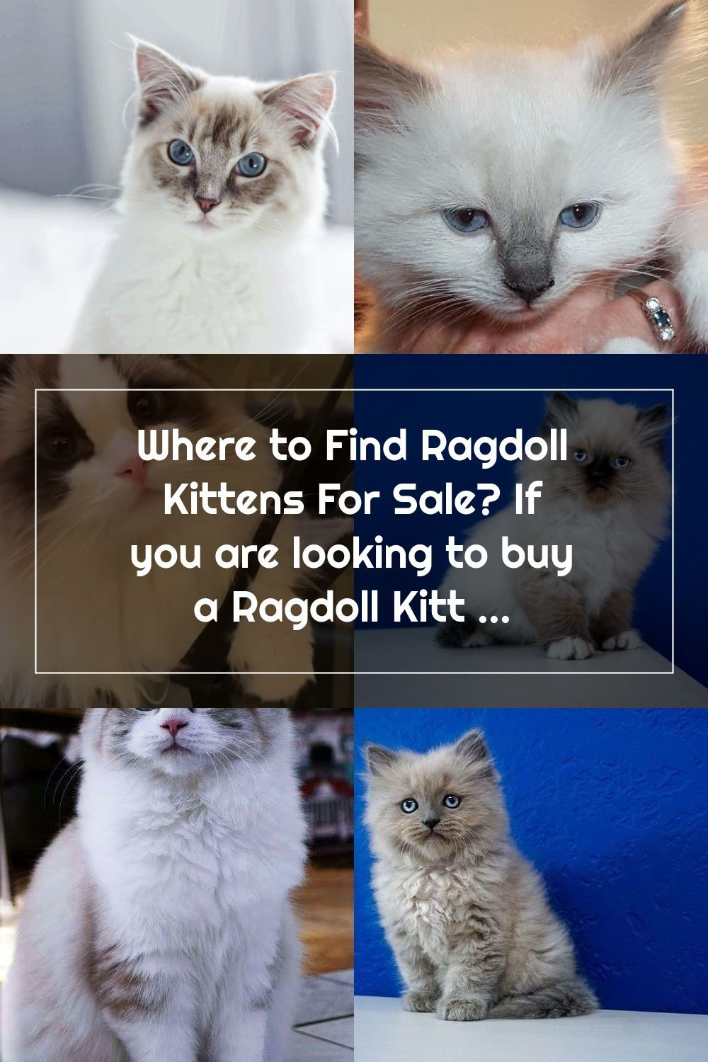 Where To Find Ragdoll Kittens For Sale If You Are Looking To Buy A Ragdoll Kitten Or Adopt It Might S In 2020 Ragdoll Kittens For Sale Ragdoll Kitten Kitten For Sale