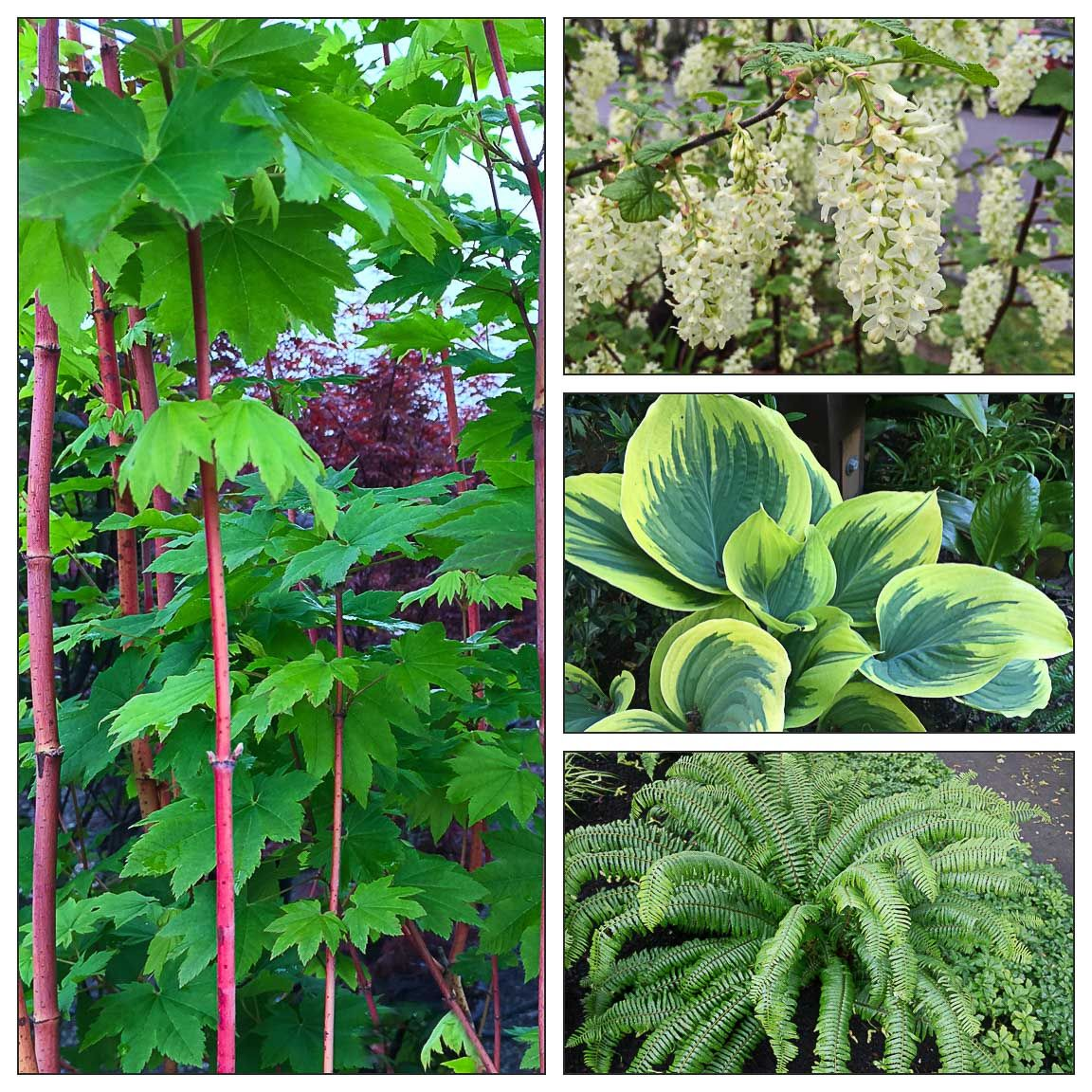 Stylish planting combination using PNW native plants—follow the link for details. Vine maple, sword fern, flowering currant, accompanied by hosta foliage accent.