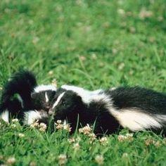 How To Get Rid Of Skunks | Getting rid of skunks, Skunk ...