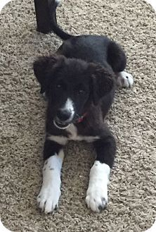 Houston Tx Border Collie Mix Meet Katy A Puppy For Adoption