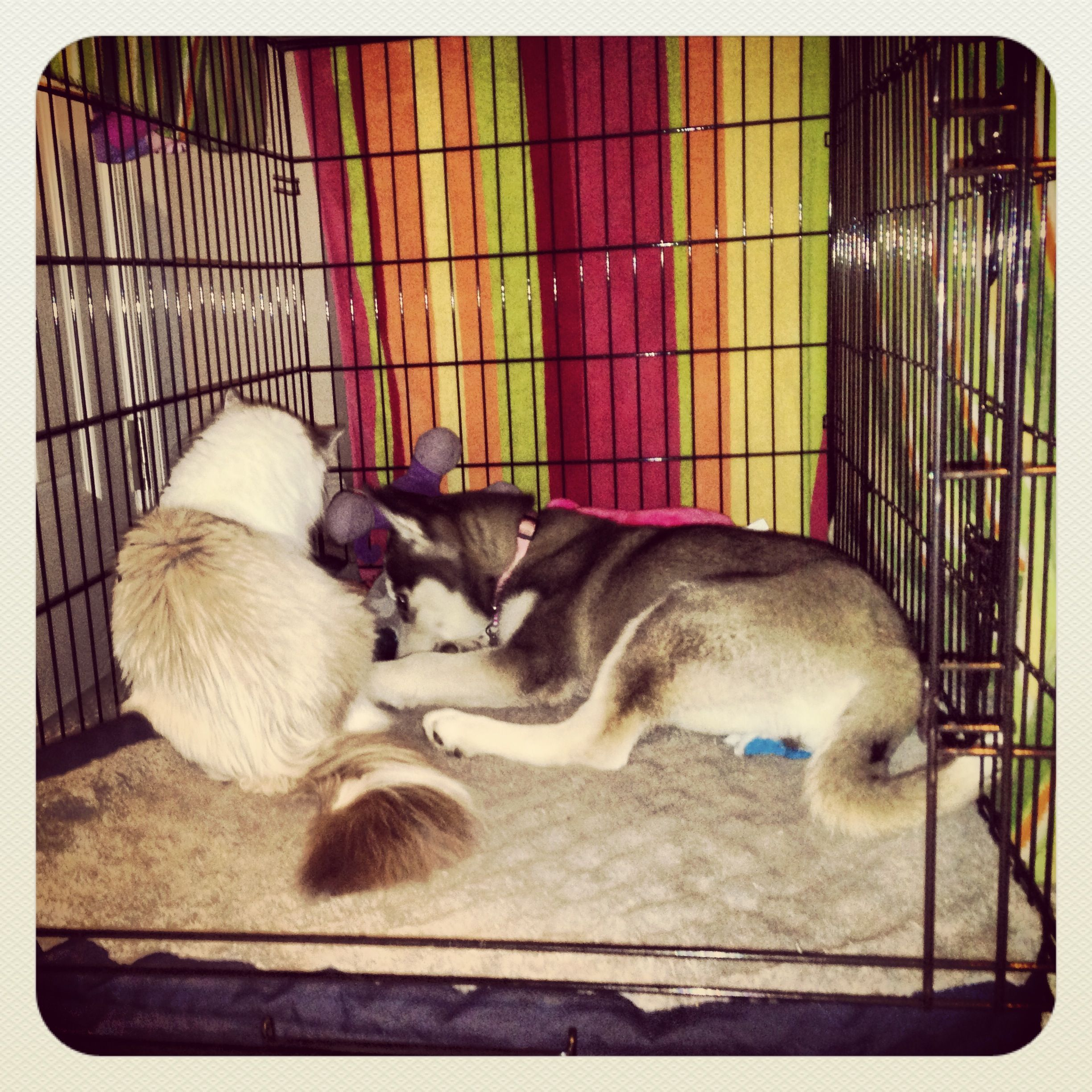 Siberian Husky And Siberian Cat Now That S What I Call Pen Pals