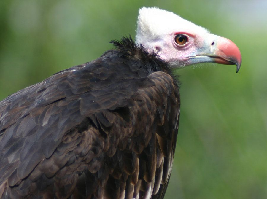 White Headed Vulture | White-headed Vulture by Parides