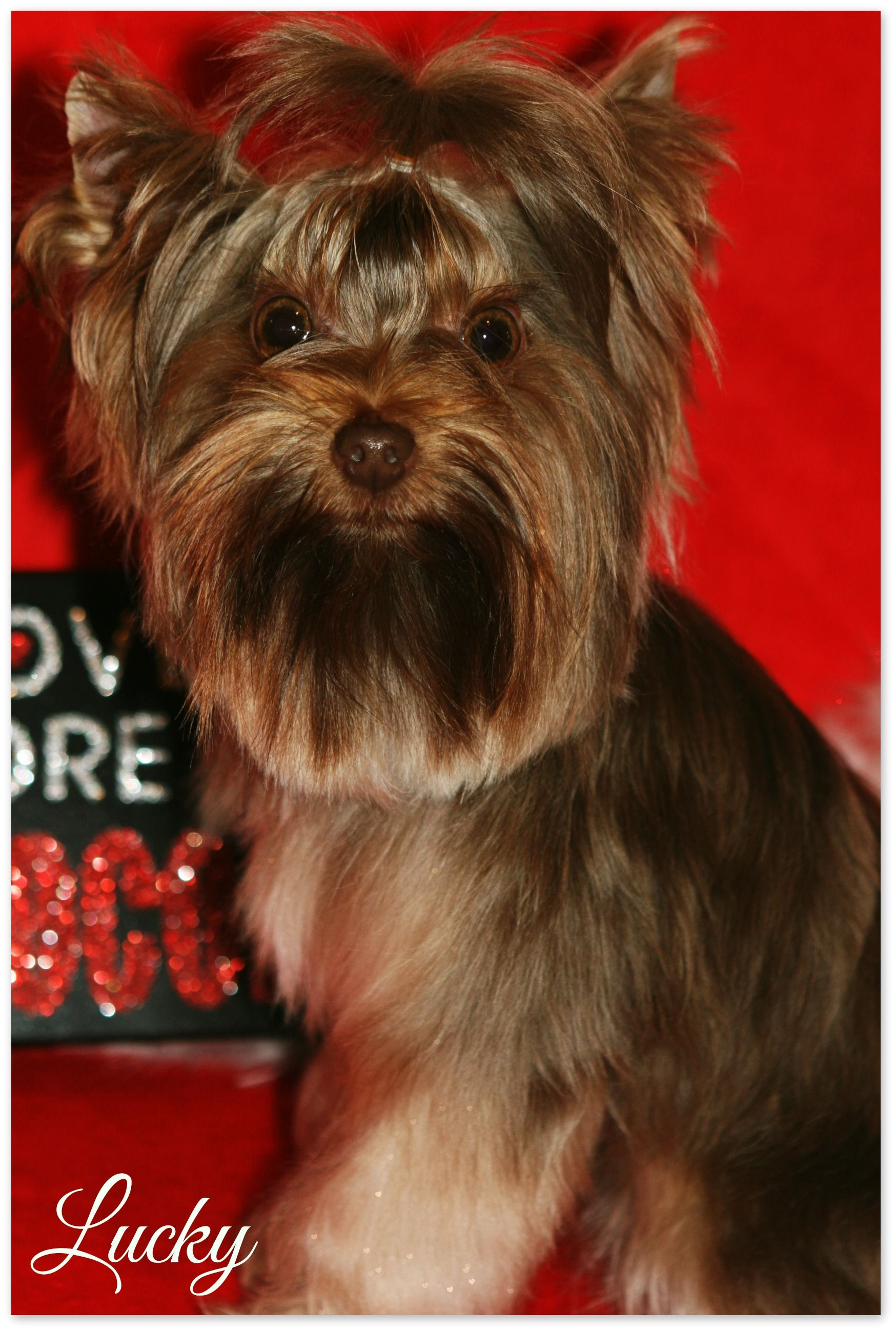 Lucky Our Pure Chocolate Stud Yorkie Pure Products Babies Are Us