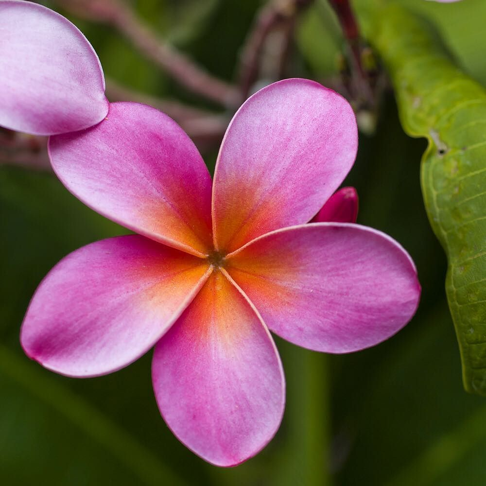 Photograph By Susanseubert Plumeria Being Propagated For Lei Making On The Island Of Maui These Flowers Are Most Fragrant At N Plumeria Flowers Frangipani
