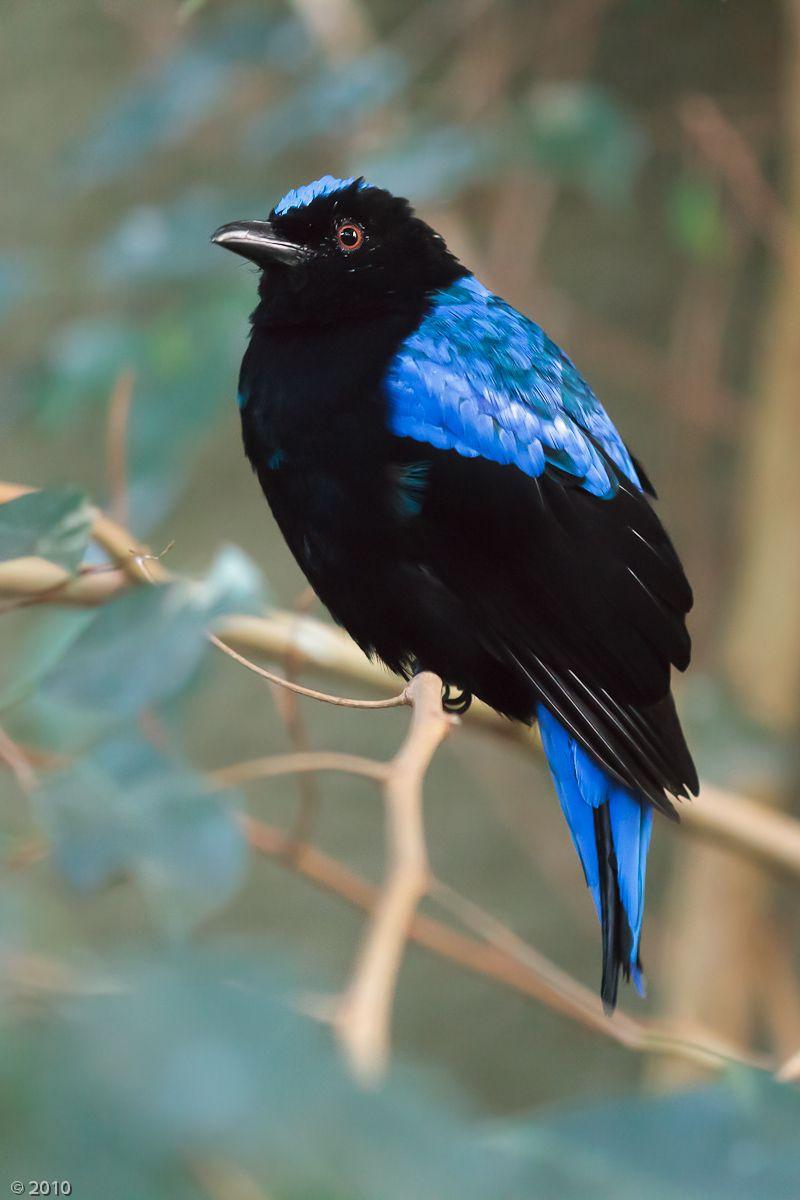 The Asian Fairy-bluebird (Irena puella) is a medium-sized, arboreal passerine bird.